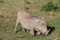 Warthog в одичалом Стоковые Изображения RF