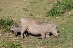 Warthog в одичалом Стоковое Изображение