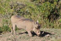 Warthog в одичалом Стоковые Фото