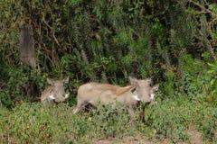 Warthog в одичалом Стоковая Фотография RF