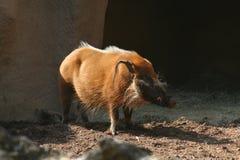 Warthog в солнечном свете стоковые изображения