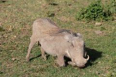 Warthog есть траву в Африке Стоковая Фотография RF