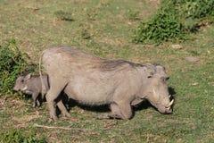 Warthog есть траву в Африке Стоковое Изображение