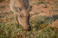Warthog есть траву в Pilanesberg Стоковое Фото