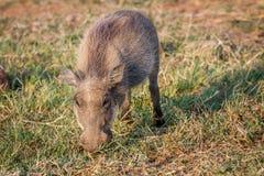 Warthog есть траву в Pilanesberg Стоковое Изображение