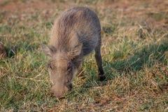 Warthog есть траву в Pilanesberg Стоковые Фотографии RF