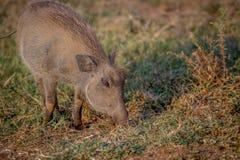 Warthog есть траву в Pilanesberg Стоковые Фото
