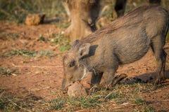 Warthog есть траву в Pilanesberg Стоковые Изображения