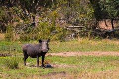 Warthog ест траву в заповеднике Kruger на африканском сафари в октябре 2017 стоковое фото rf
