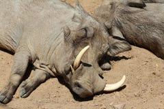 Warthog, дикое животное, природа живой природы Стоковое Фото