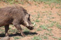 Warthog на движении Стоковые Изображения