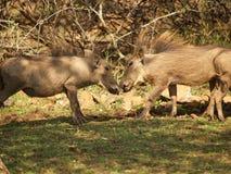 Warthog общего юноши стоковые изображения rf