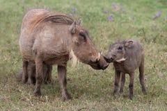 warthog поцелуя Стоковое Изображение