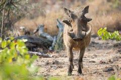 Warthog при сломленные зубы одно идя среди короткой травы Стоковое фото RF