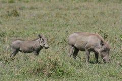 warthog Танзании младенца Африки ваше Стоковое Изображение RF
