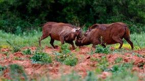 Warthog установило 1 из 4 Стоковые Изображения