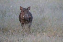 Портрет warthog стоковое изображение rf
