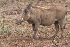 warthog Obrazy Stock
