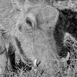 warthog Στοκ Φωτογραφίες