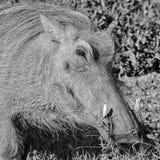warthog Στοκ φωτογραφίες με δικαίωμα ελεύθερης χρήσης