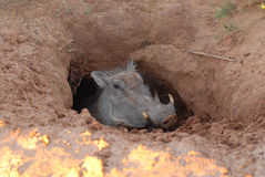 Warthog. A Warthog watching from its borrow - South Africa Stock Image