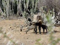 warthog стоковая фотография rf
