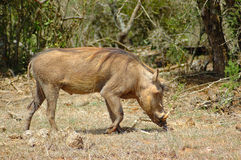 Warthog. An active warthog or vlakvark (phacochoerus aethiopicus) looking for food watched by other warthogs at the water hole in a game park in South Africa Stock Images