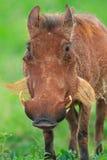 Warthog. In Tarangire national park in Tanzania Royalty Free Stock Photos
