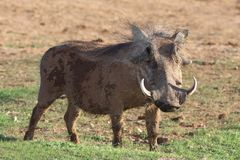 Warthog. Hairy warthog with large curved tusks eating grass Royalty Free Stock Images
