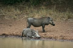 Warthog. Drinking and roling in the mudd Royalty Free Stock Photo
