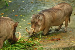 Warthog. The Warthog or Common Warthog (Phacochoerus africanus, African Lens-Pig) is a wild member of the pig family  that lives in Africa Stock Images