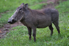 Warthog. In the Masai Mara Kenya Royalty Free Stock Image