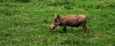 Warthog Fotografie Stock