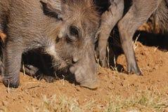 warthog Στοκ Εικόνα
