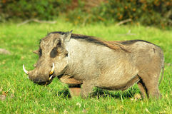 Warthog. A warthog or vlakvark (phacochoerus aethiopicus) walking in a game park in South Africa Royalty Free Stock Photo