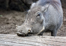 Warthog Royalty Free Stock Image