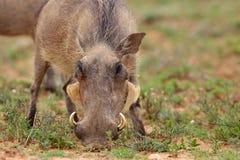 warthog Стоковое Фото