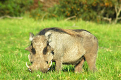 Warthog. A warthog or vlakvark (phacochoerus aethiopicus) grazing in a game park in South Africa Stock Photos