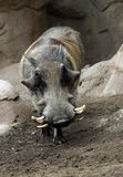 Warthog Immagini Stock