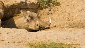 他的家庭甜warthog 免版税图库摄影