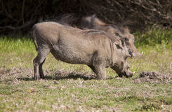 Warthog. Portrait of a Warthog in a South African game park Stock Photos