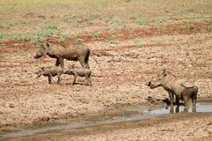 warthog стоковая фотография