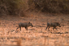 warthog стоковое изображение rf