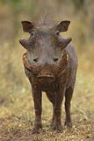Warthog. Full front view of an warthog with tusks full of mud; phacochoerus aethiopicus; South Africa Stock Photography
