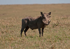 Warthog. A male warthog patrolling its ground on the Masai Mara in Kenya Stock Photography