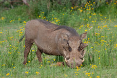 Warthog. In Pilanesberg National Park, South Africa Royalty Free Stock Photo