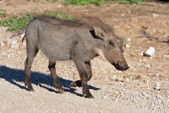 Warthog. In Addo National Park, South Africa Stock Photography