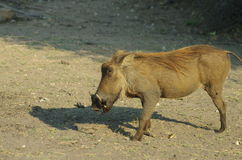 Warthog. A wild warthog in Botswana, Africa Royalty Free Stock Photos