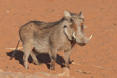 Warthog. Pig-like appearance; grey, sparsely haired body; wart-like lumps on face; thin tail with dark tufted tip held erect when running; curved, upward Stock Photos