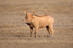 Warthog Photos stock